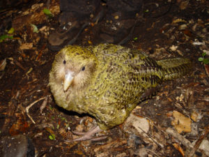 Kakapó de noche.
