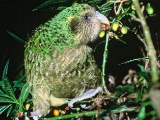 Kakapo alimentándose