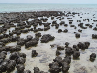 Estromatolitos en Shark Bay (Australia)